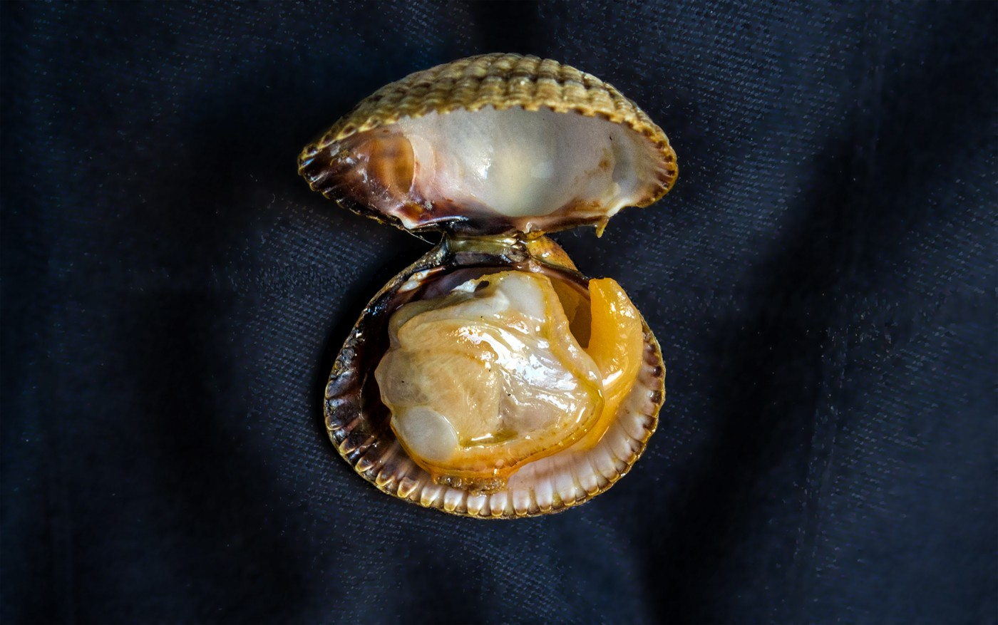 Galician wild cockle